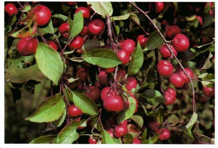 Как приготовить варенье из райских яблок.