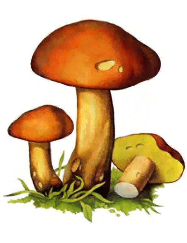 Рисунок гриба маслёнка