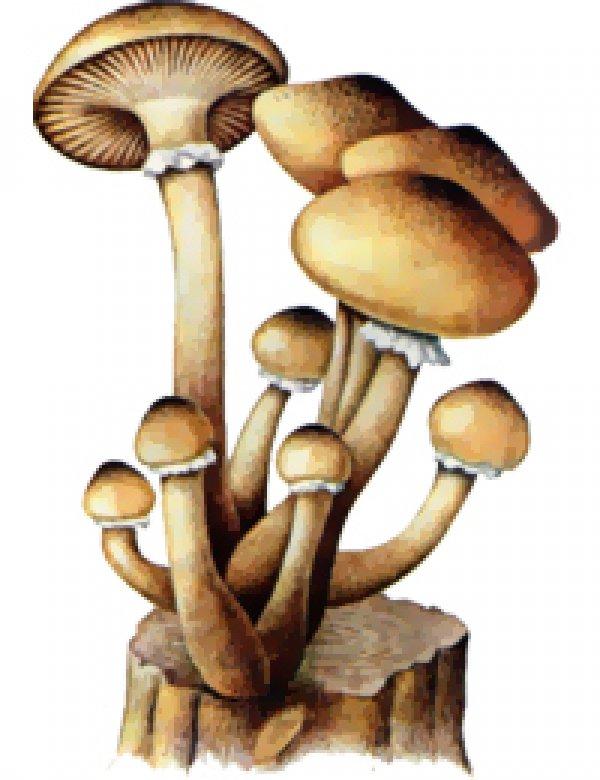 Картинка гриба опенка для детей